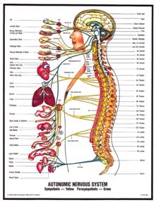Anatomija nervnog sistema